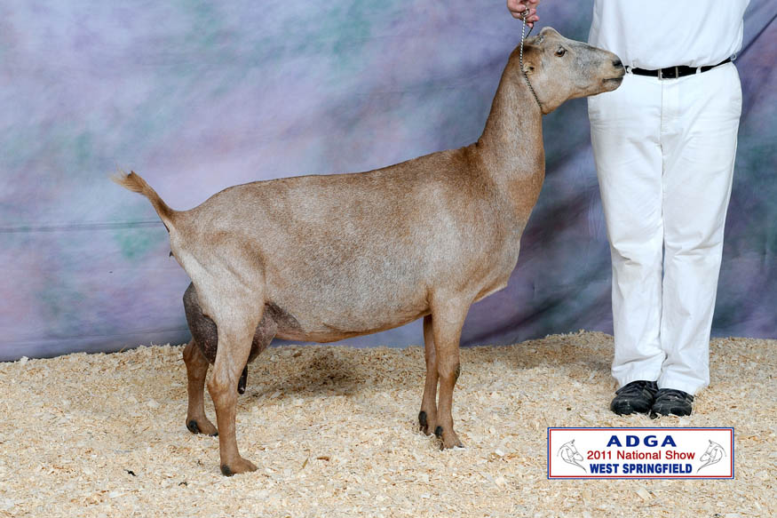 2011 ADGA National Show - 3rd place Aged LaMancha Milker